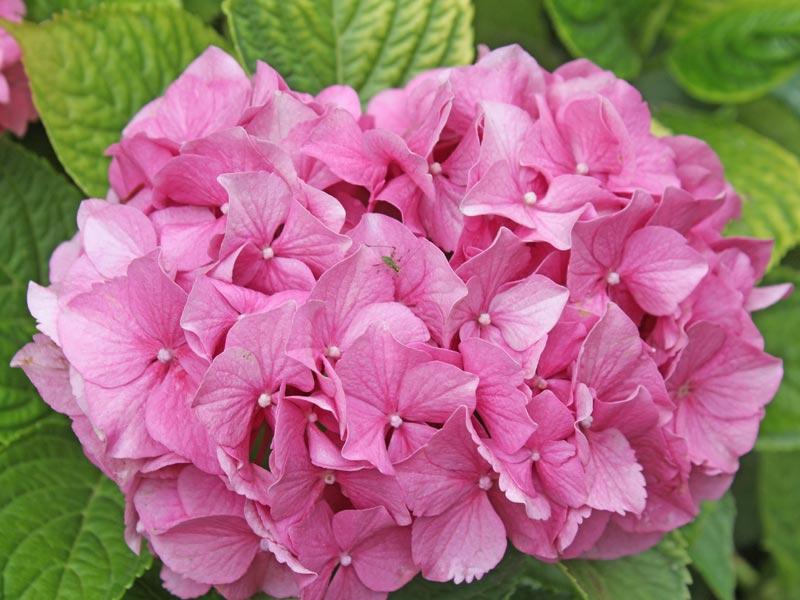ortensia dei fioristi