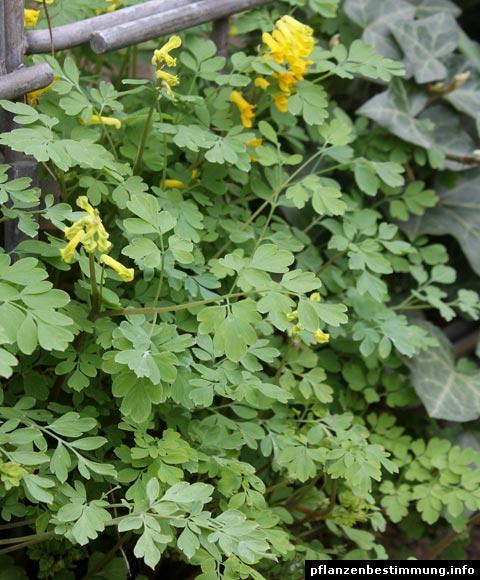 colombina gialla