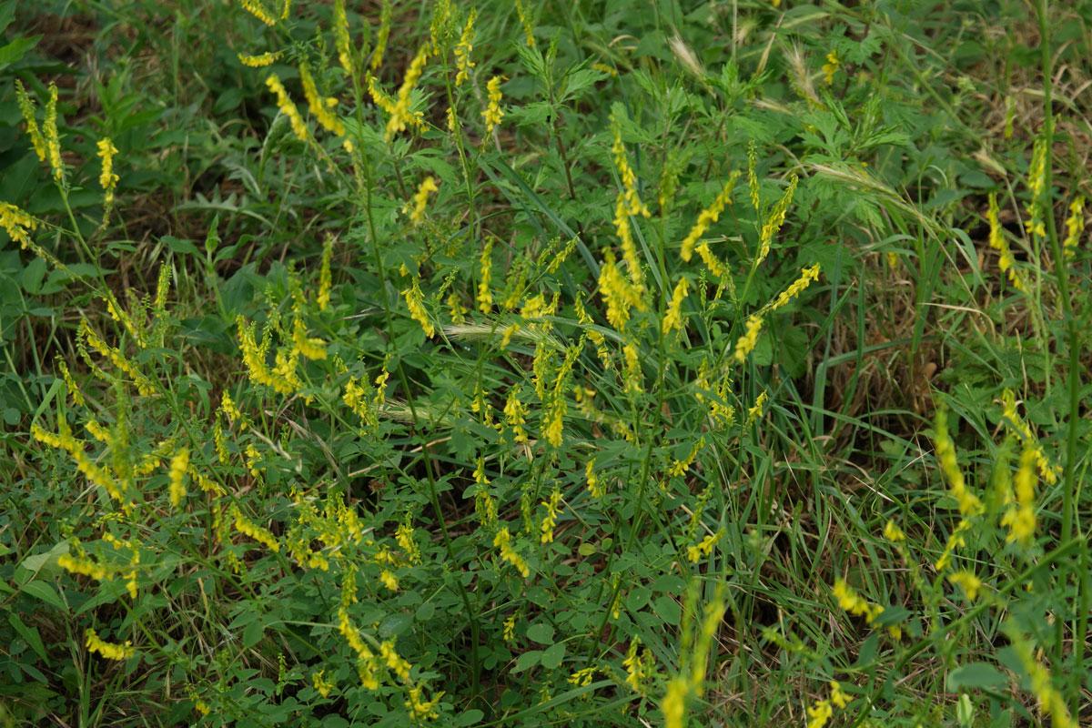 meliloto giallo