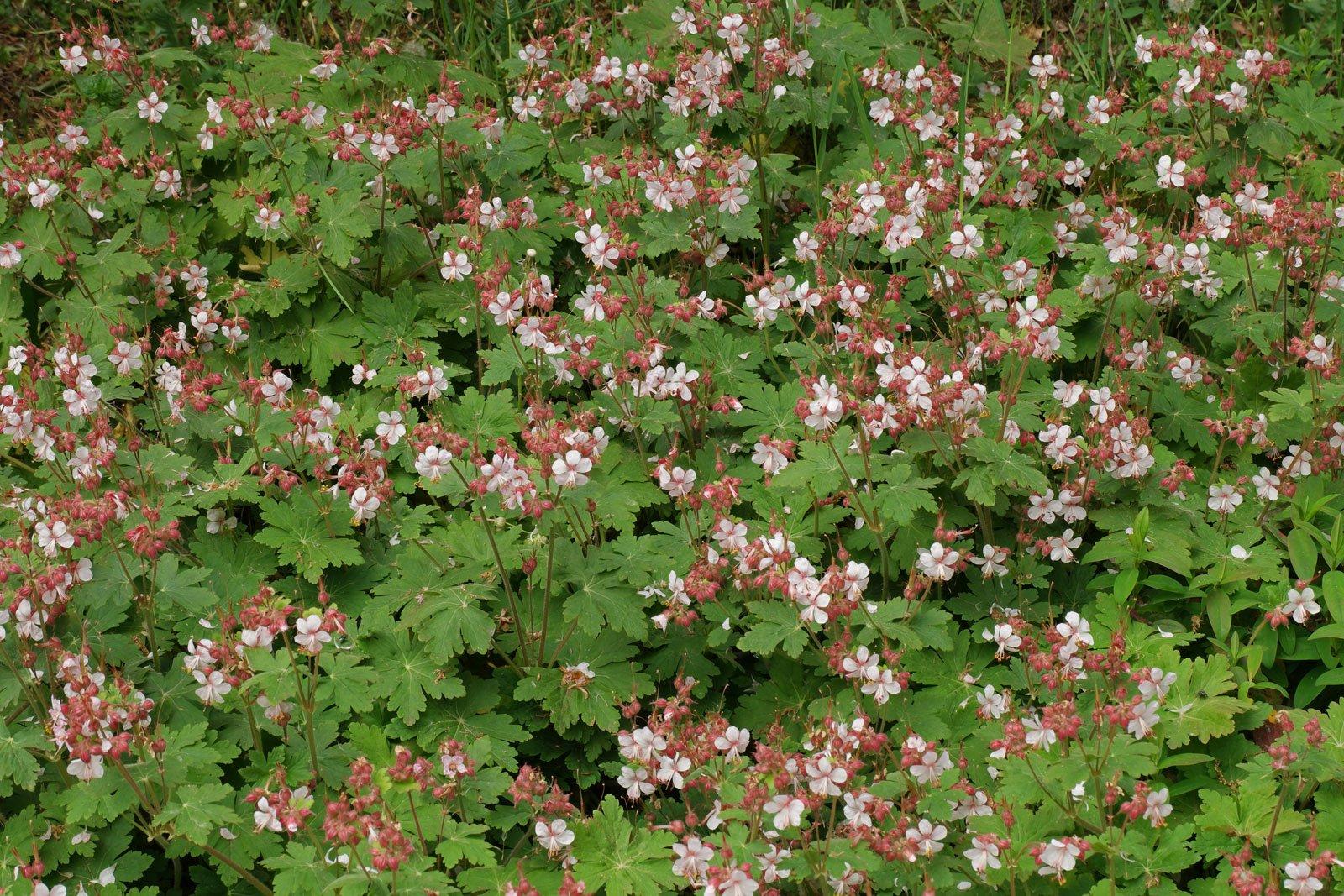 Geranium macrorrhizum Spessart