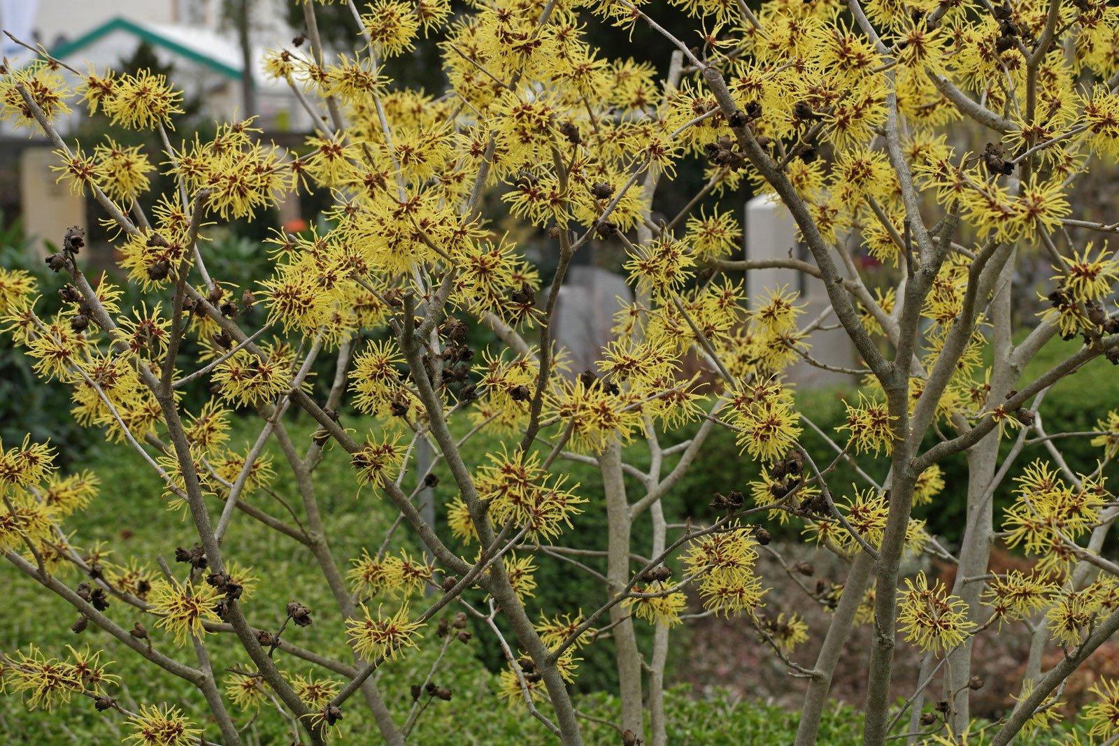 Hamamelis × intermedia