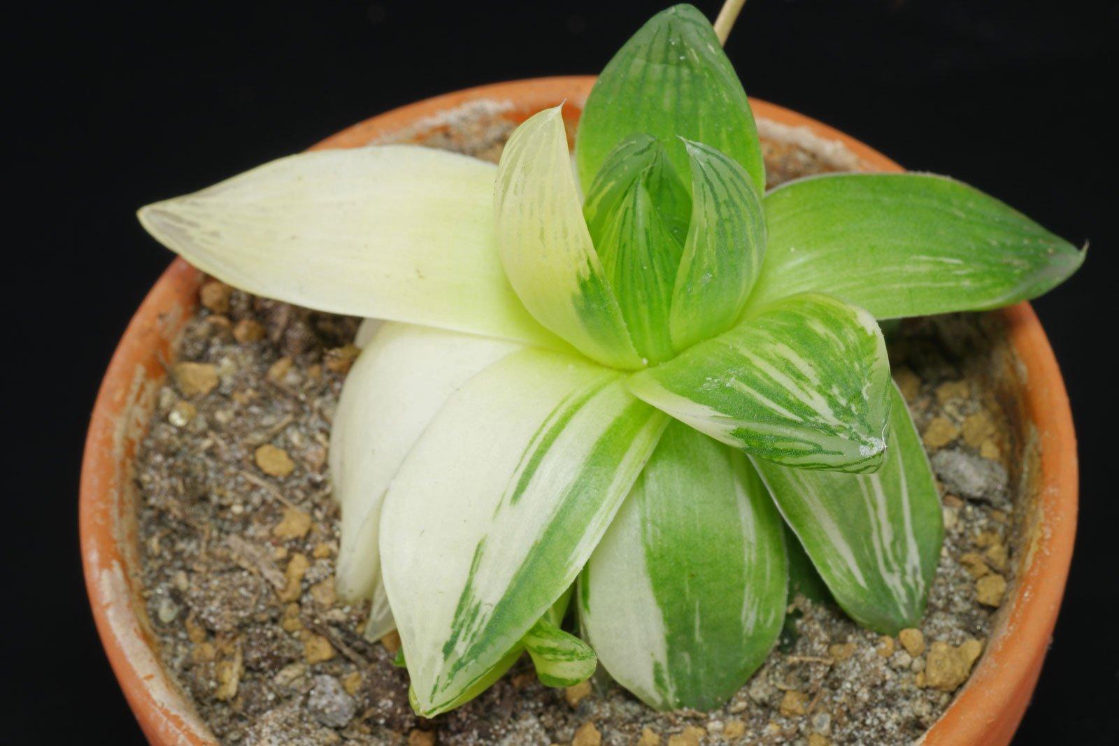 Haworthia cymbiformis Variegata