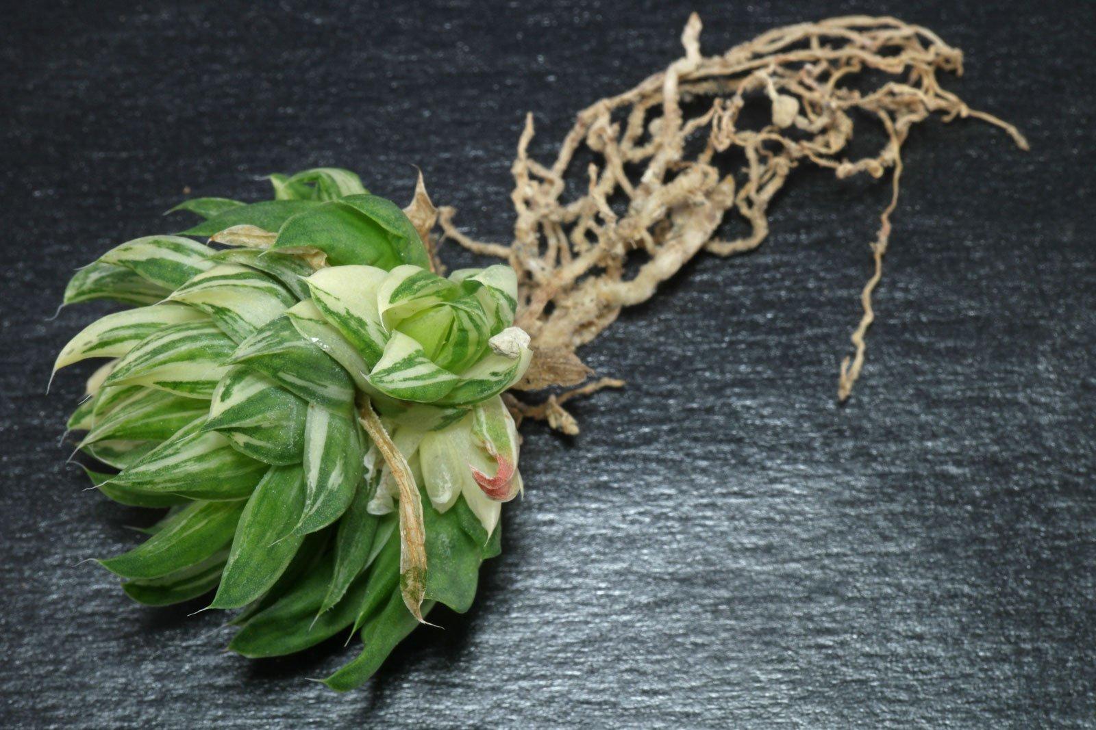 Haworthia reticulata Variegata