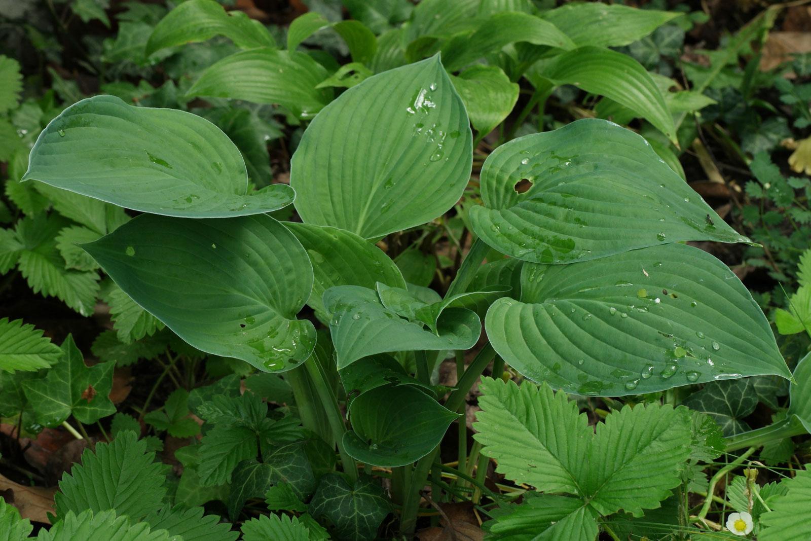 Hosta Fortunei Hyacinthina