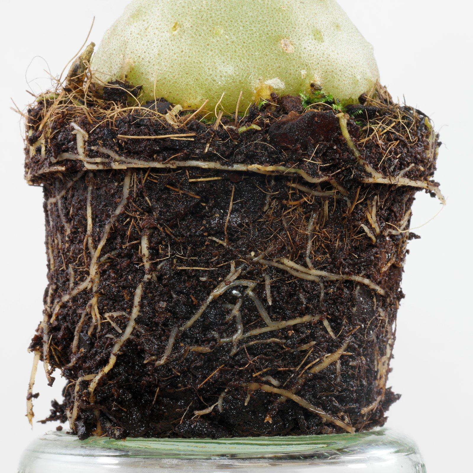 Hydnophytum moseleyanum