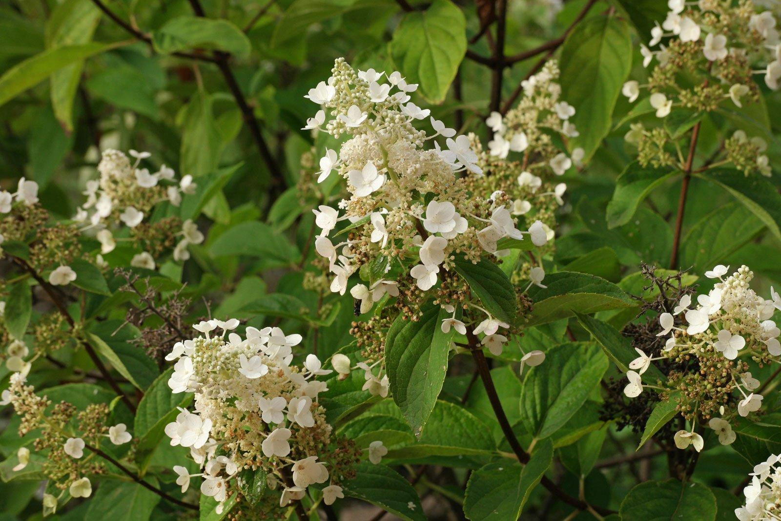 Hydrangea paniculata cv.