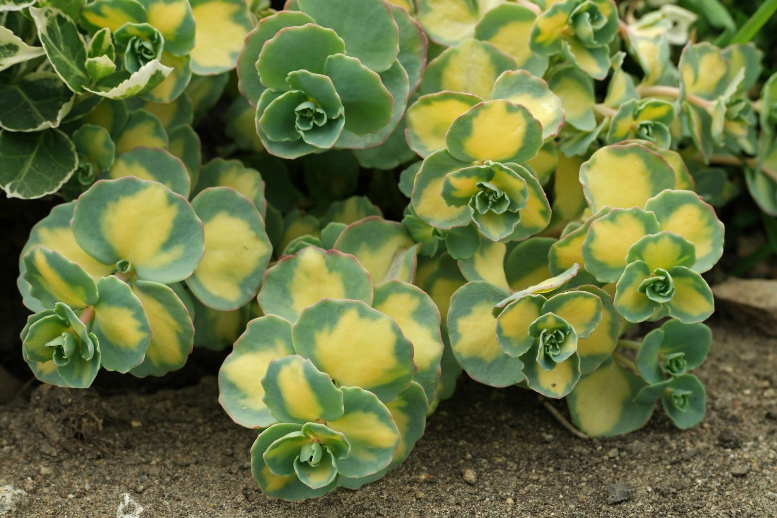 Hylotelephium sieboldii Mediovariegatum