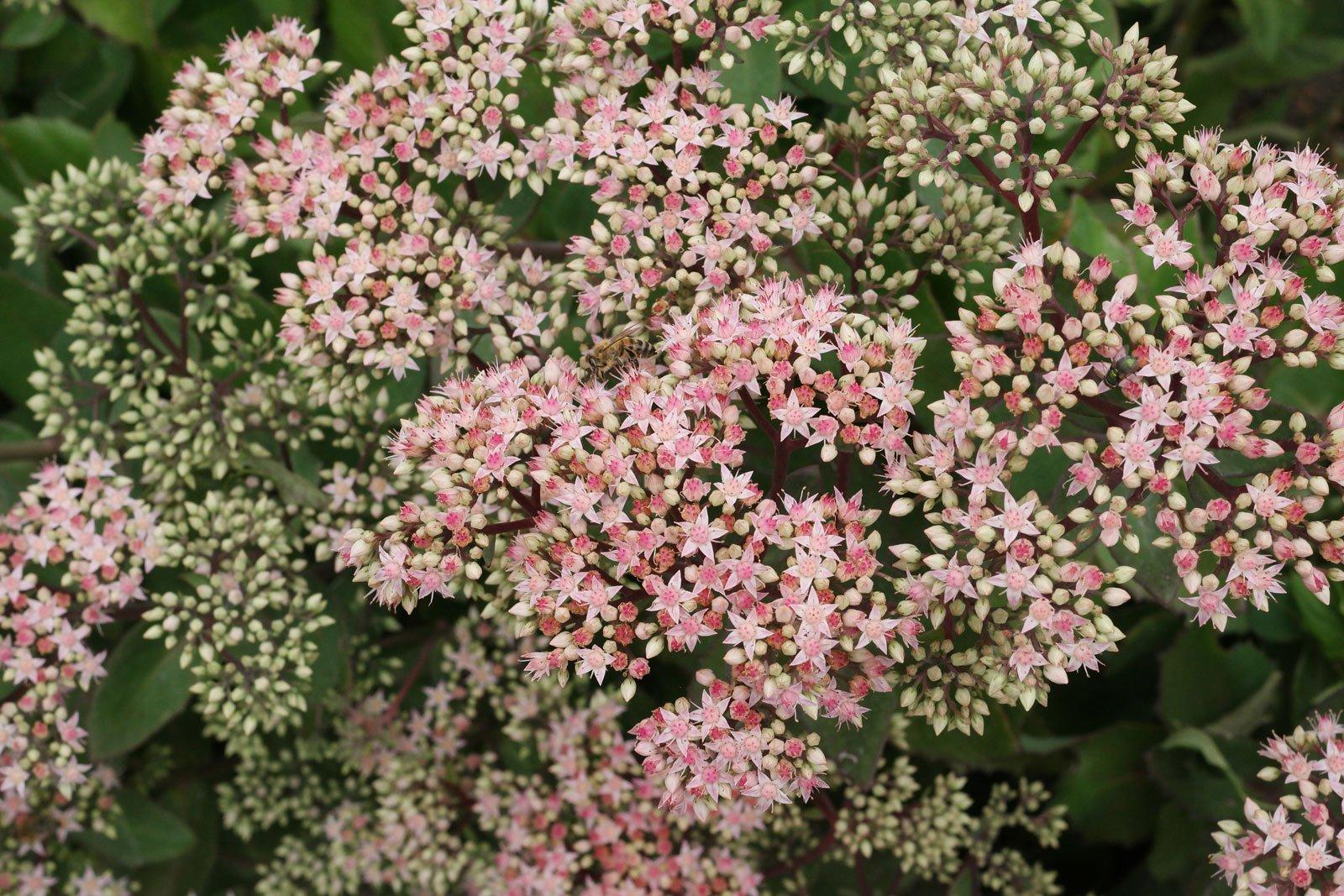 Hylotelephium telephium cv.