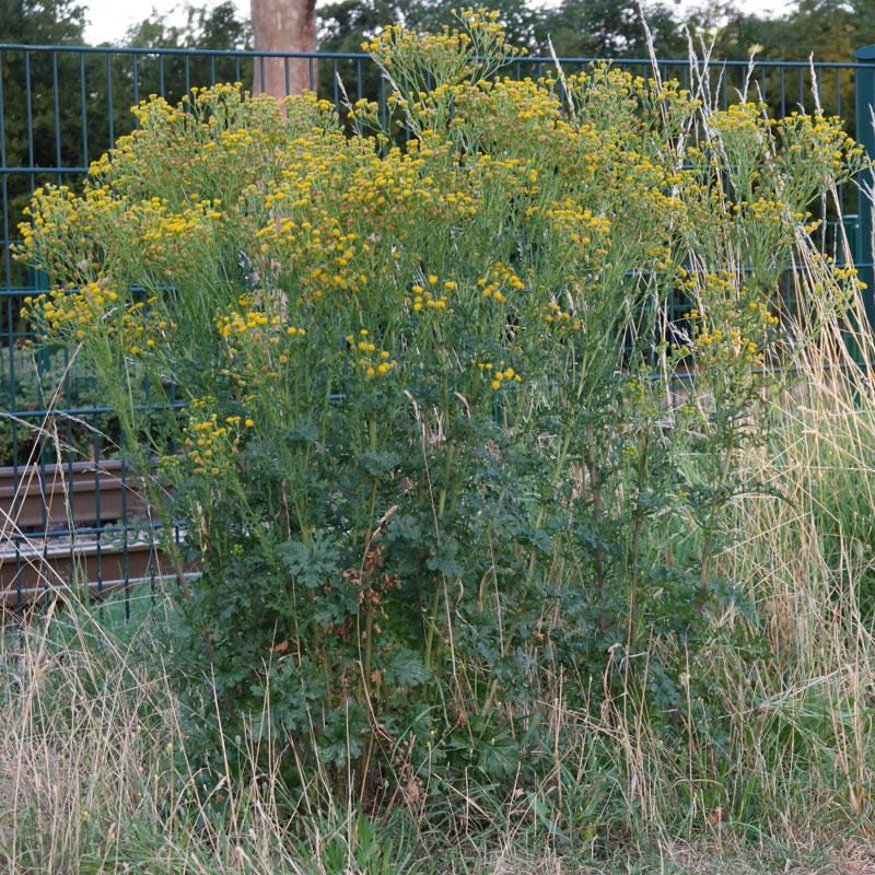 Jacobaea vulgaris ssp dunensis