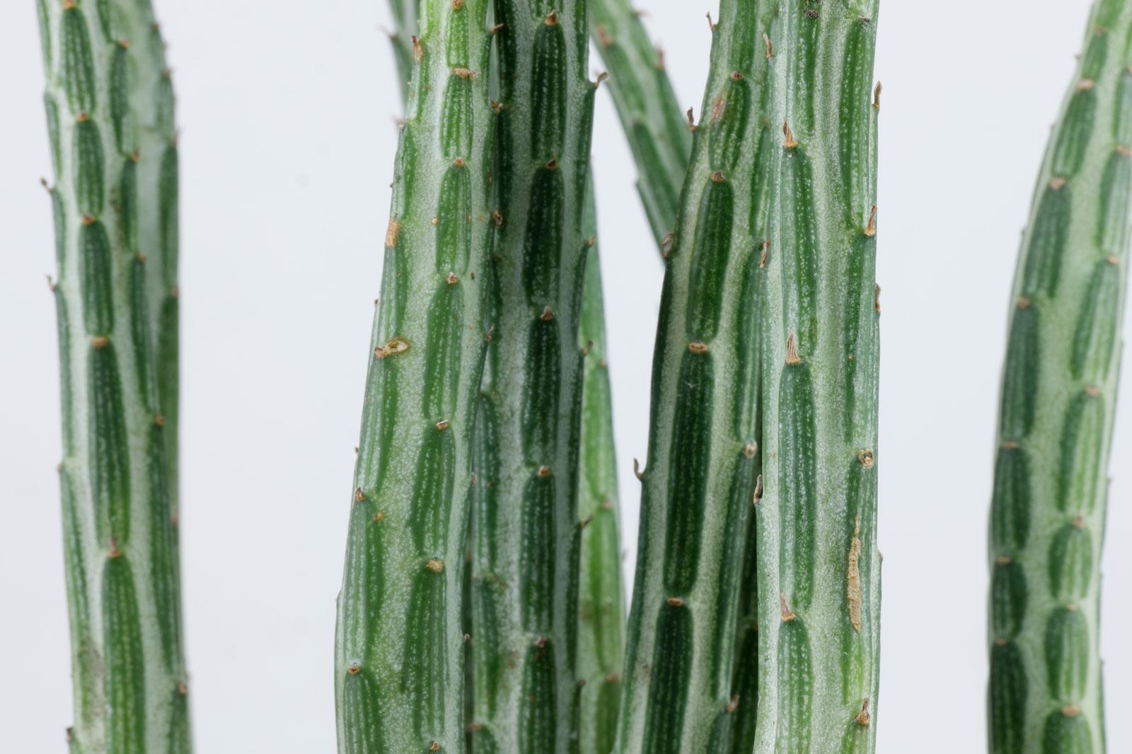 Kleinia stapeliiformis