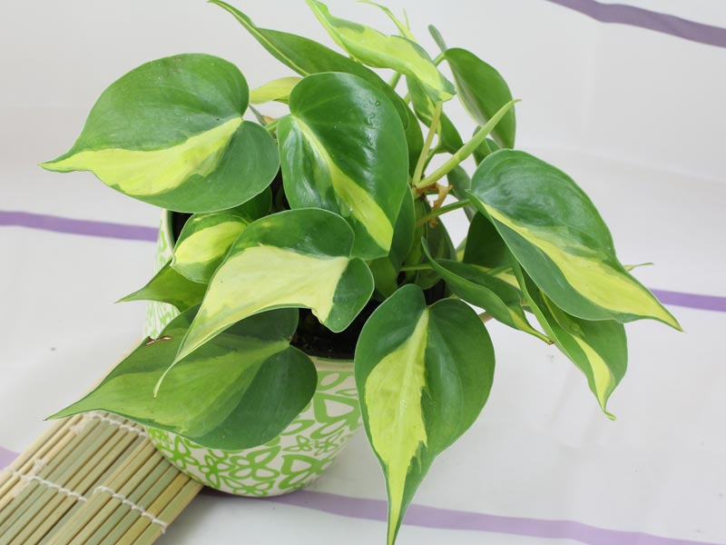 Kletterphilodendron