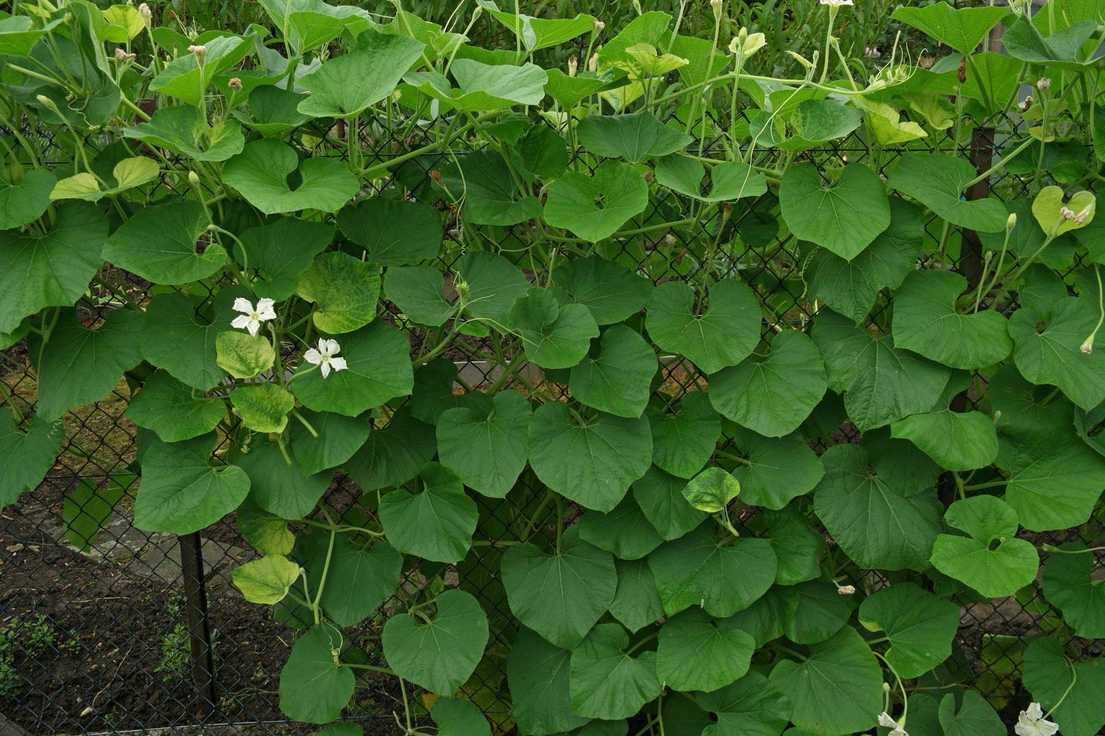 Lagenaria siceraria