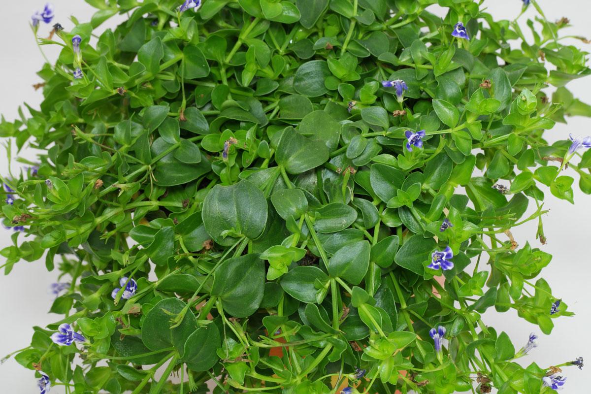 Lindernia grandiflora