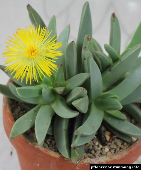 Machairophyllum bijlii