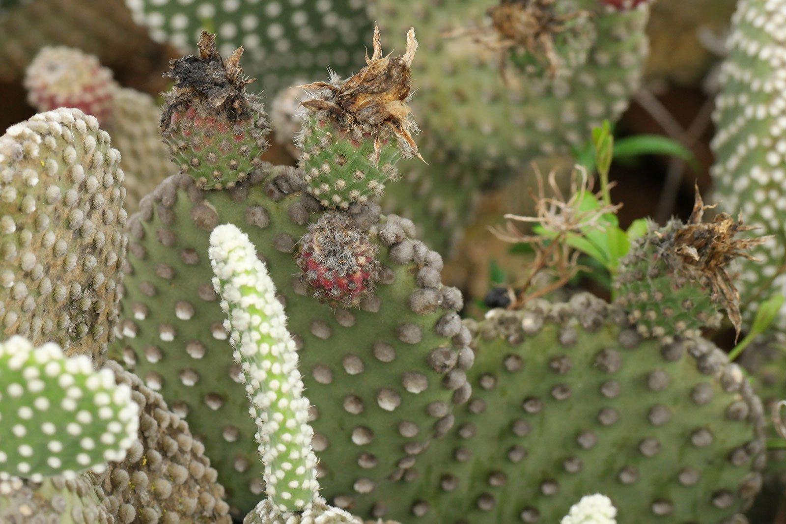 Opuntia microdasys Albata