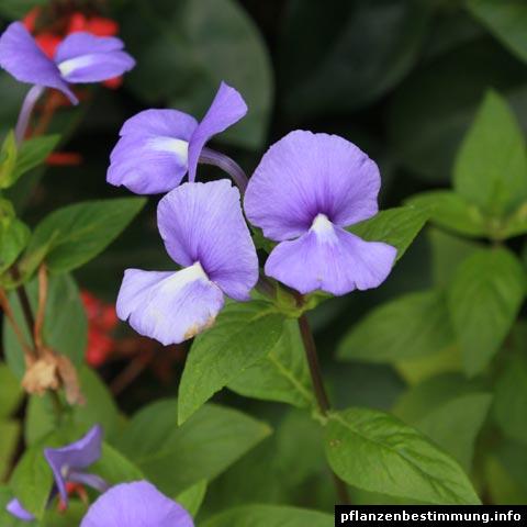 Otacanthus caeruleus