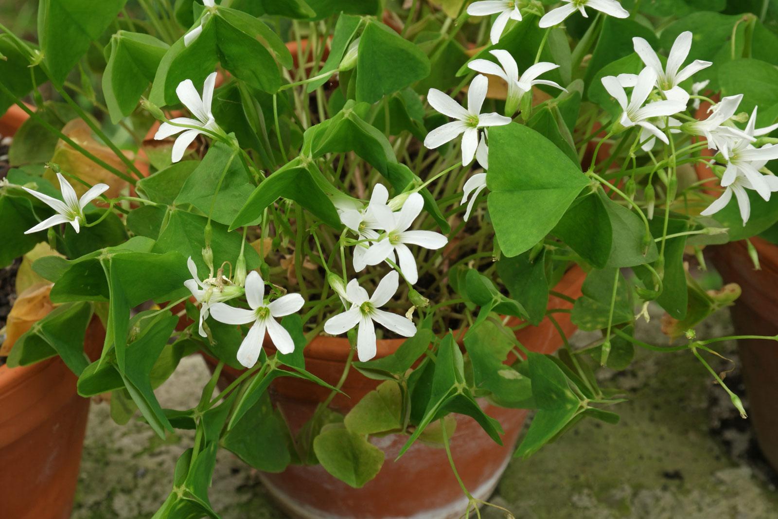 Oxalis triangularis papilionacea