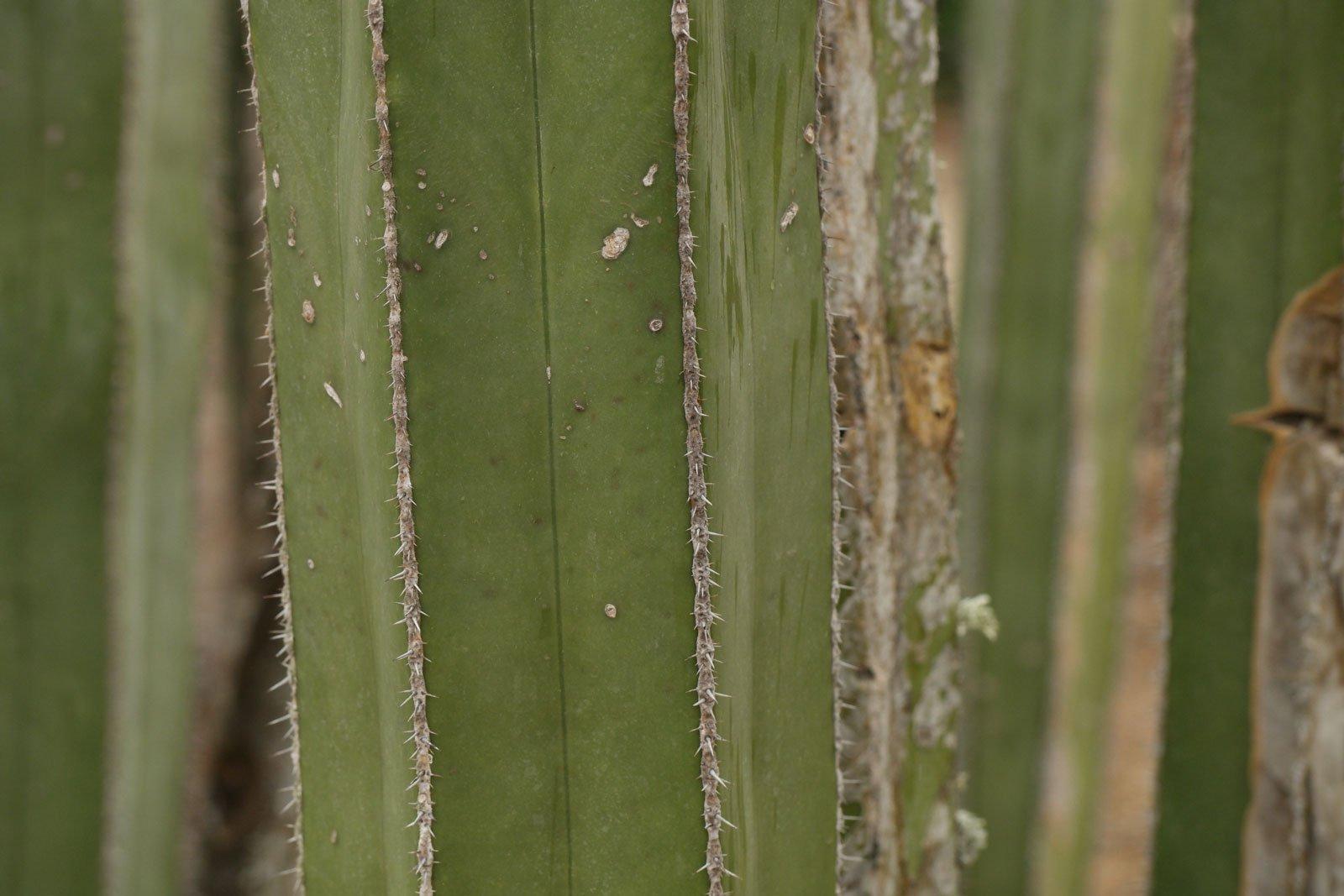 Pachycereus marginatus