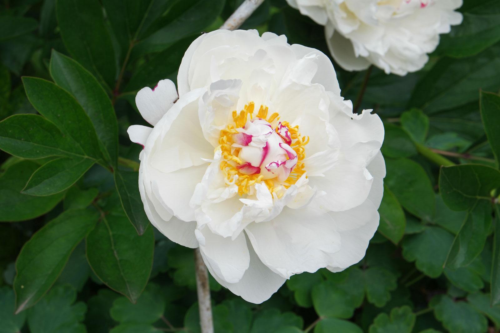 Paeonia lactiflora cv