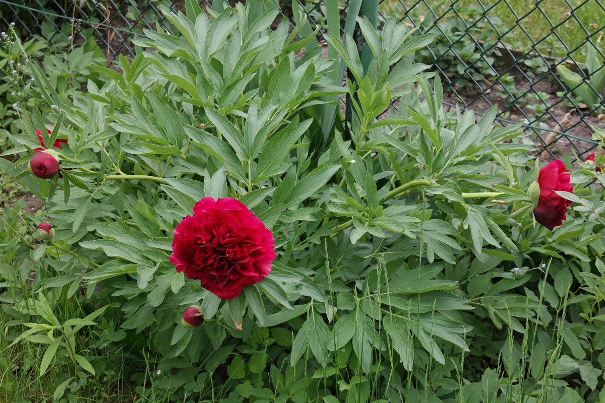 peonia officinale