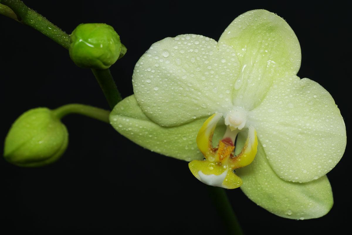 Phalaenopsis-green