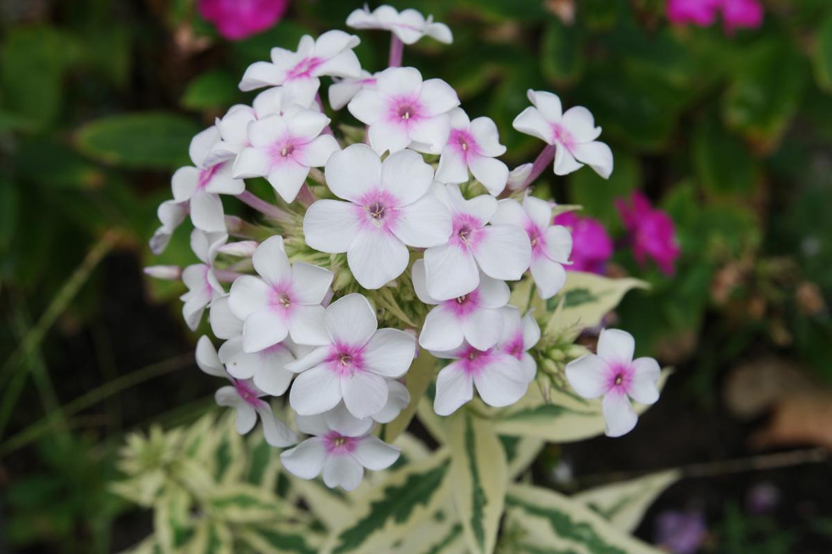 Phlox paniculata NoraLeigh