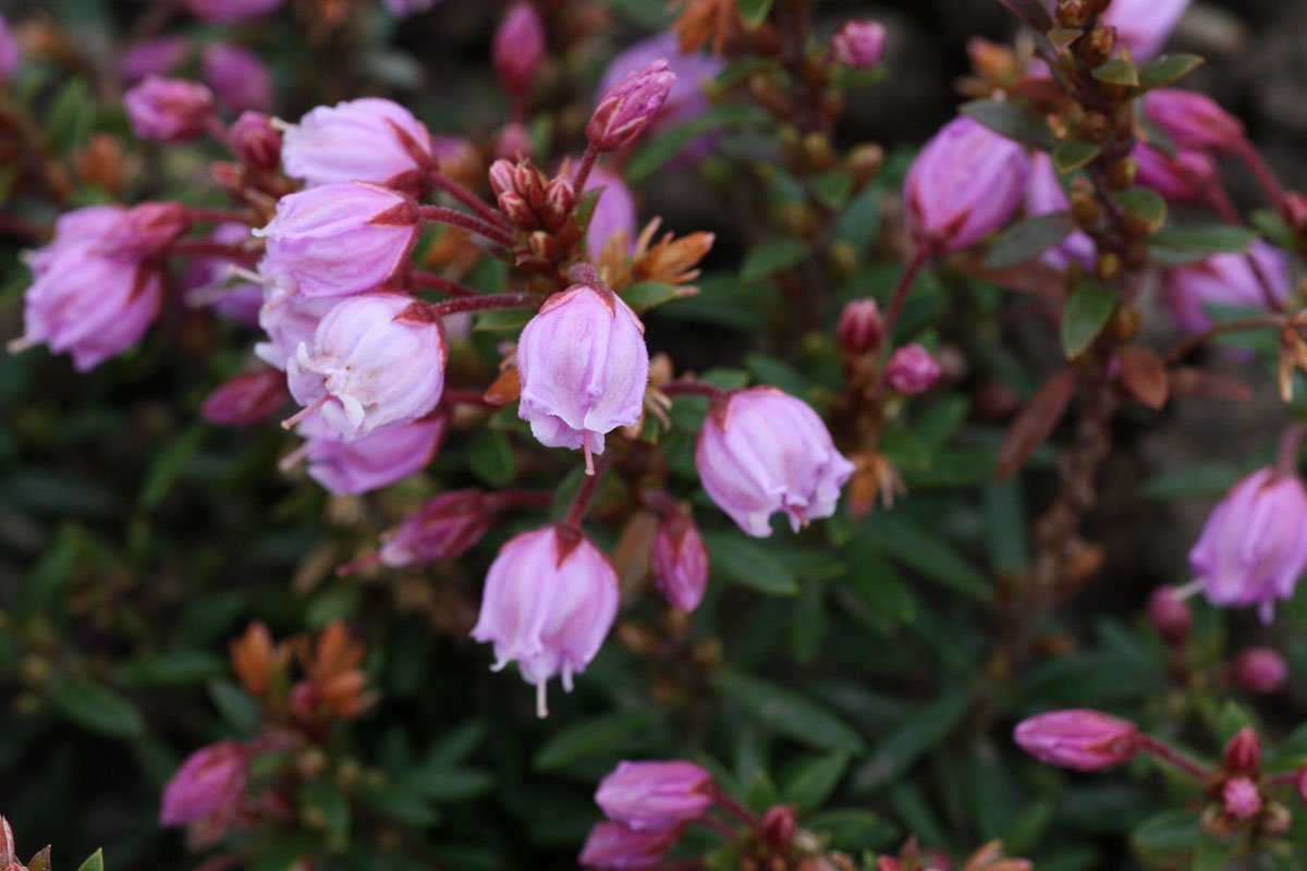 Phylliopsis hillieri