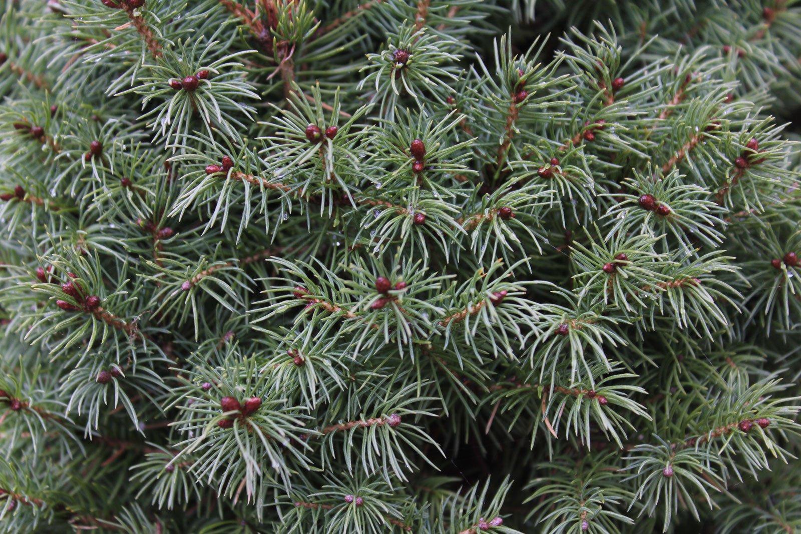 Picea abies Nidiformis
