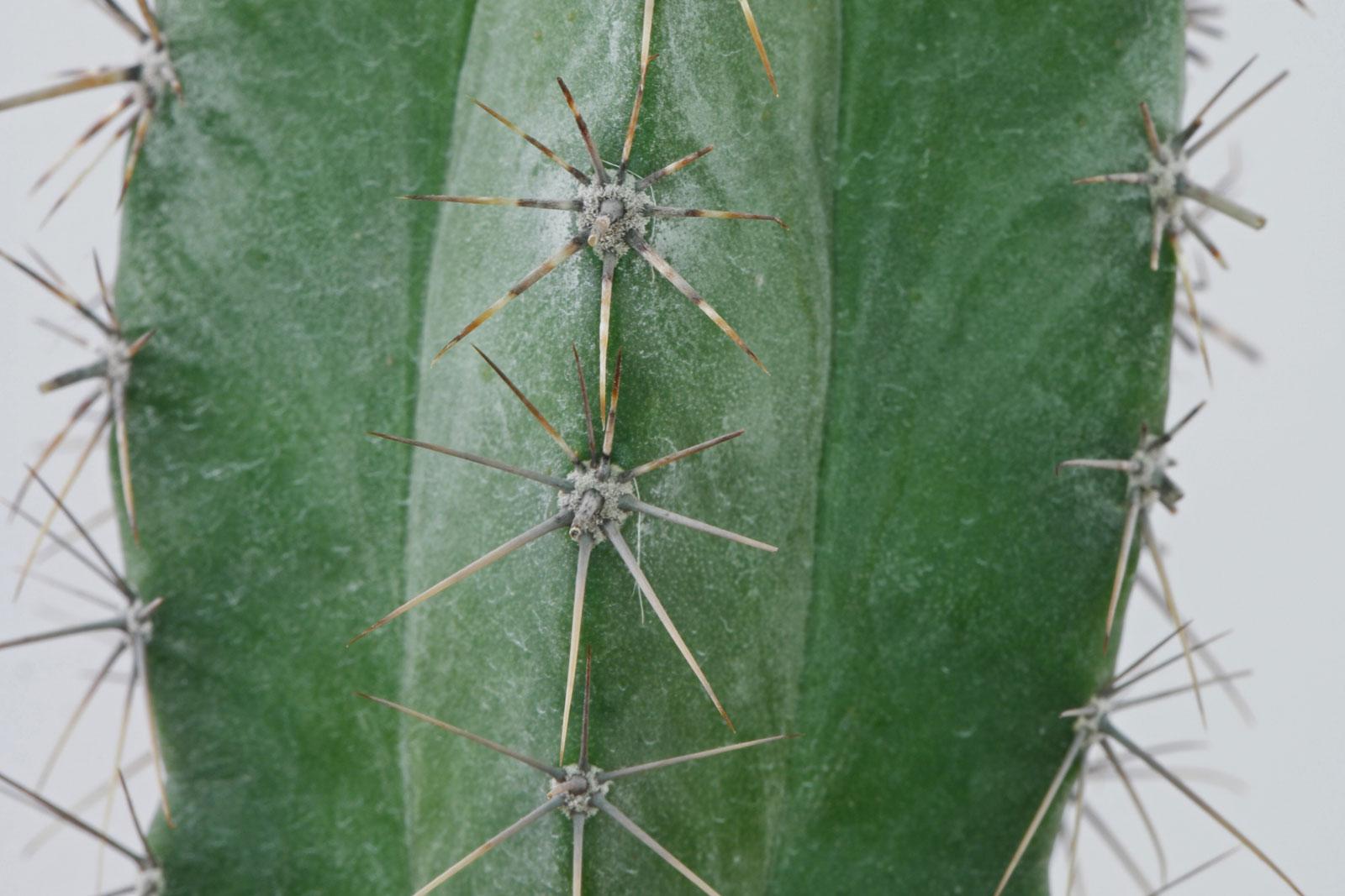 Polaskia chichipe