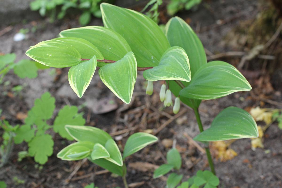 Polygonatum falcatum Variegatum