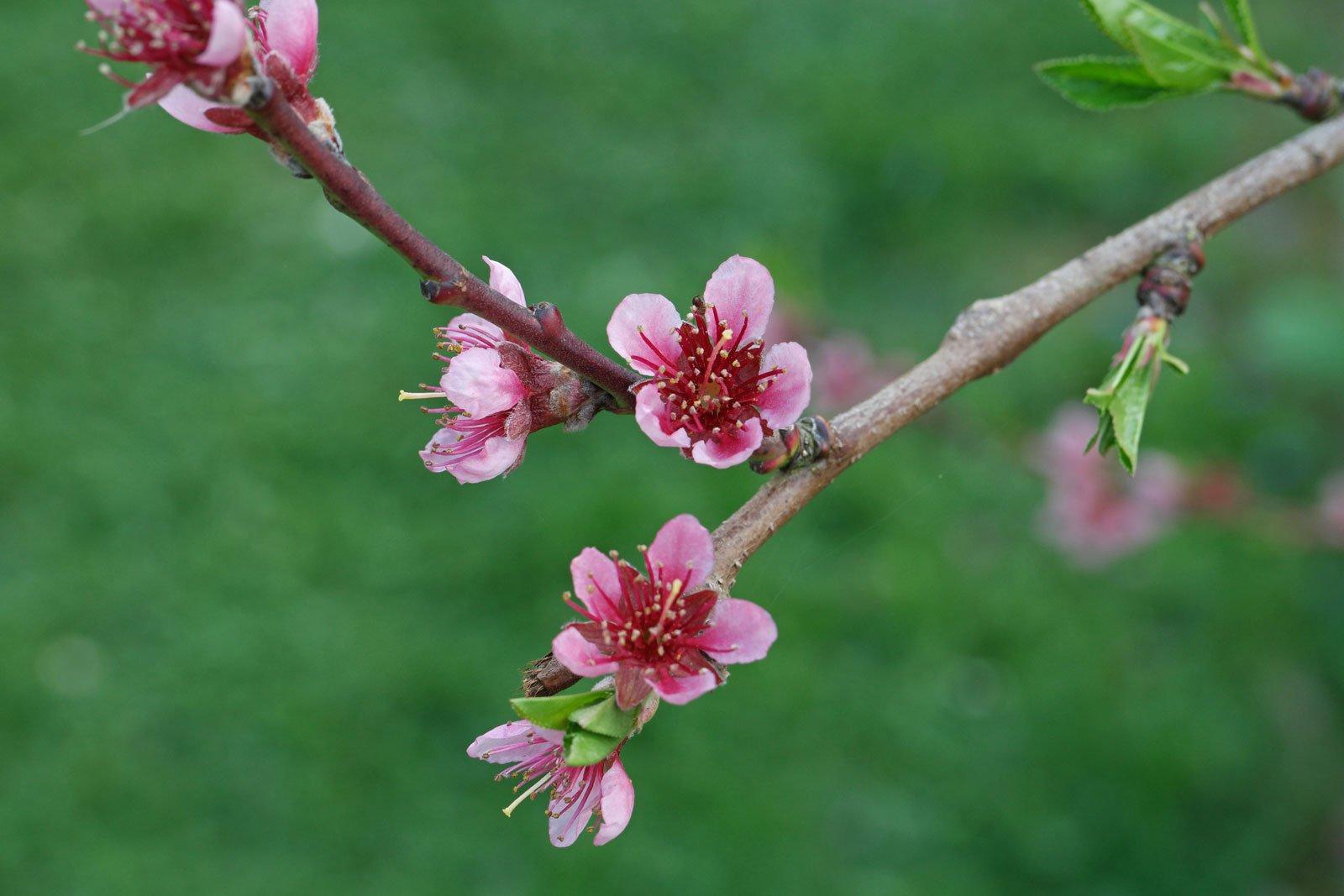Prunus persica cv.