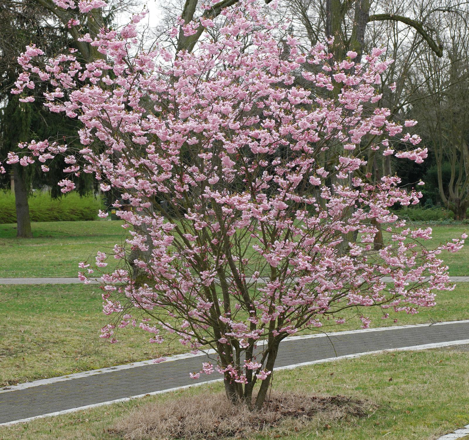 Prunus triloba cv.