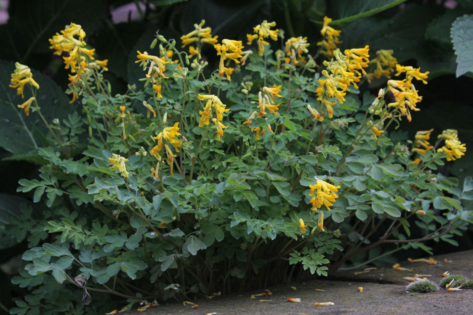 Pseudofumaria lutea