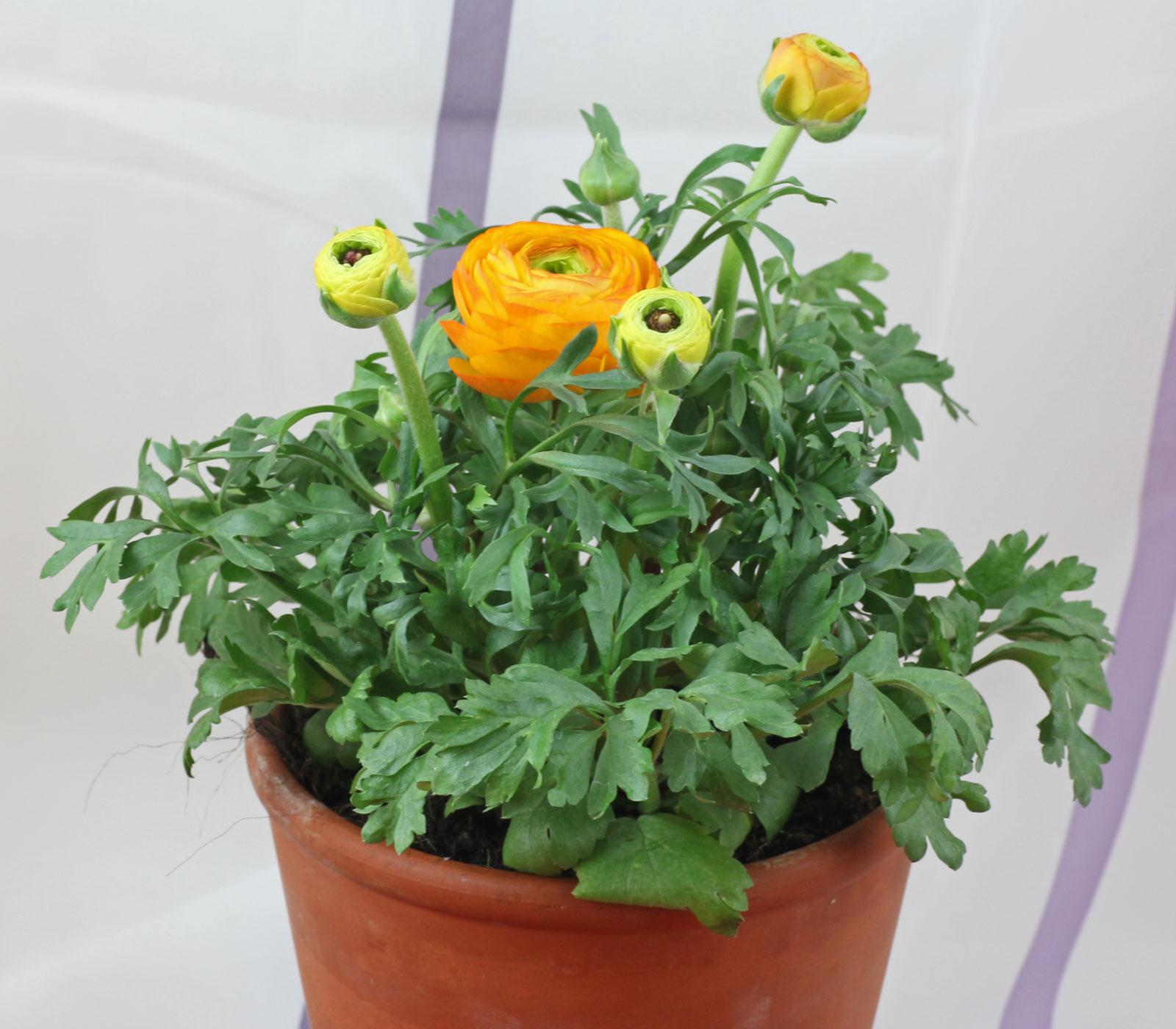 Ranunculus asiaticus cv.