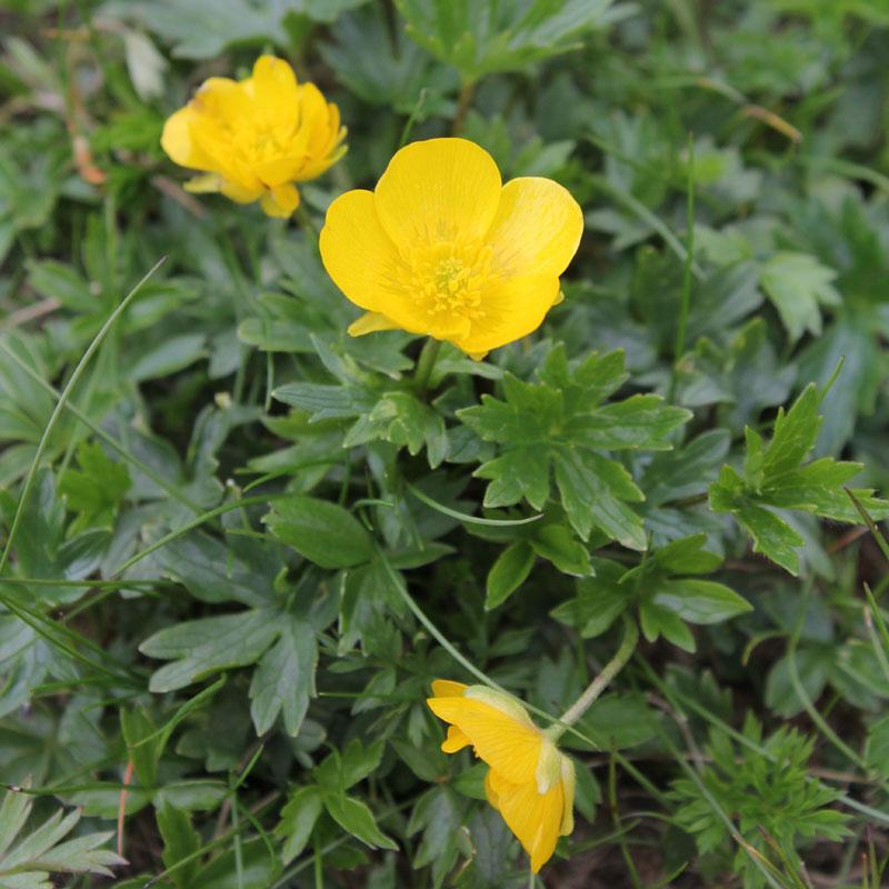 Ranunculus montanus