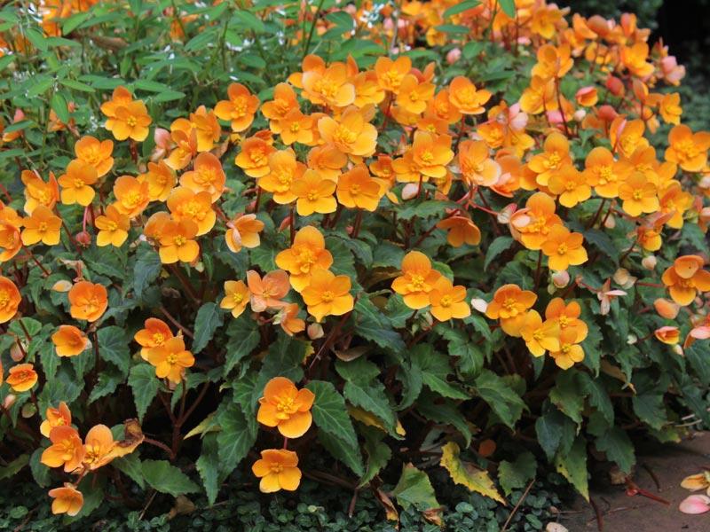 Richard Galle Begonia