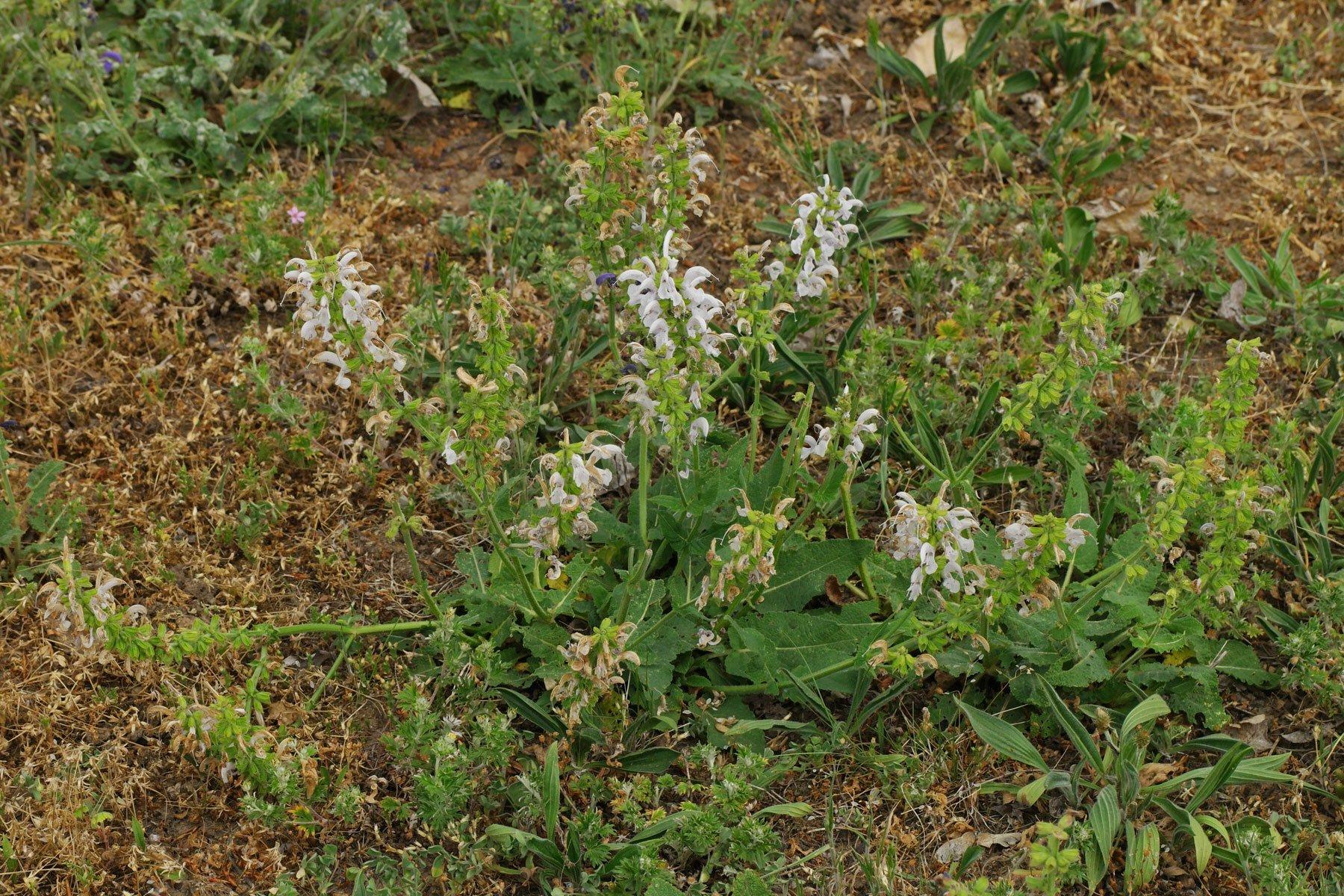 Salvia pratensis Swan Lake