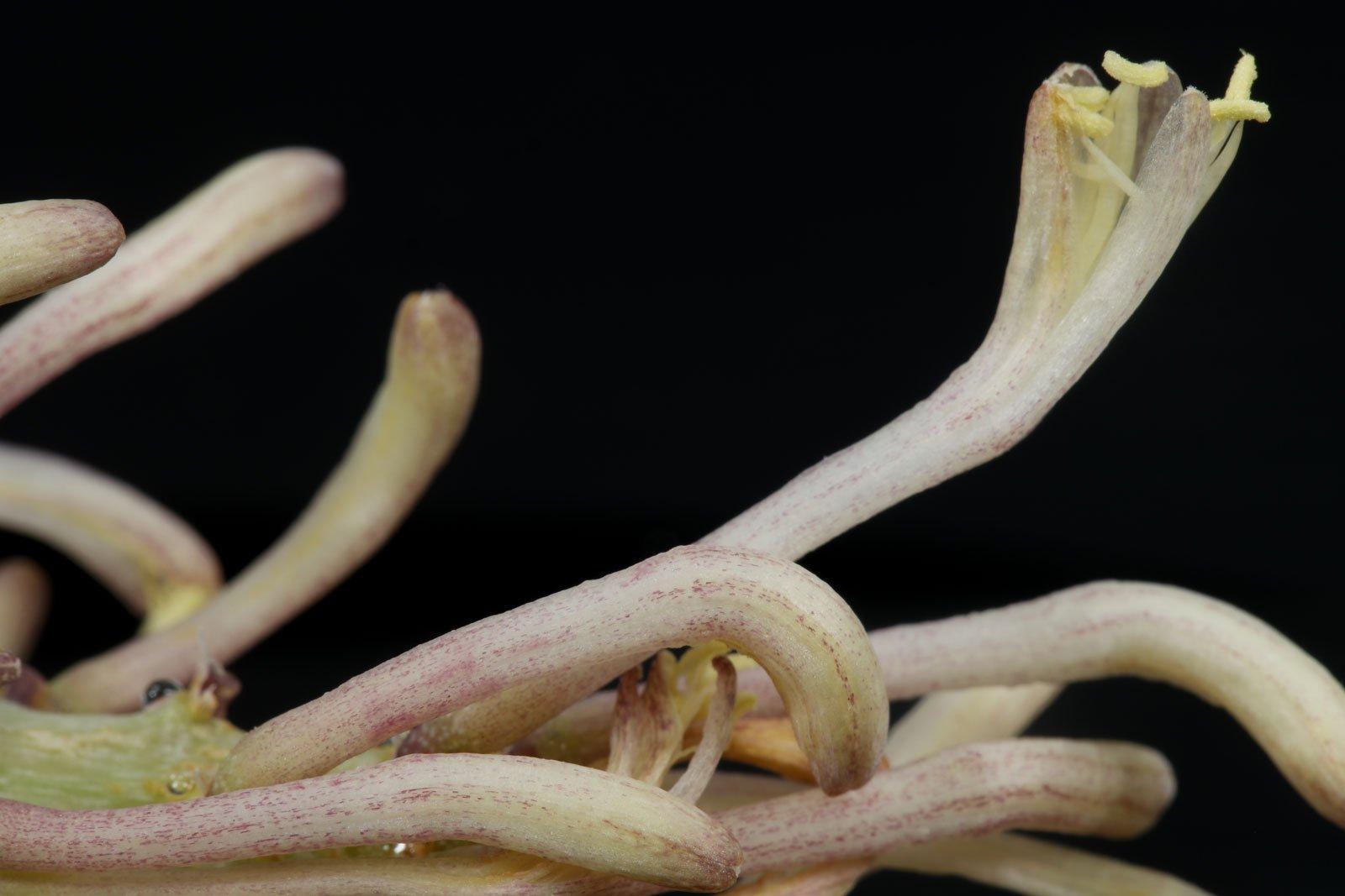 Sansevieria francisii