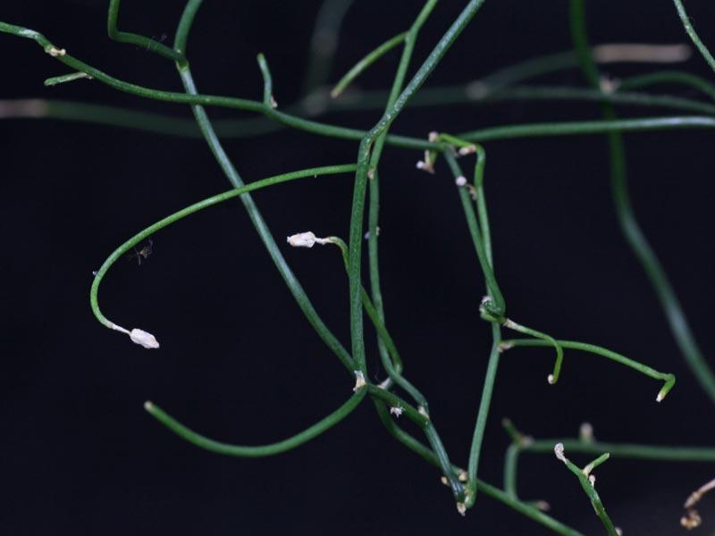 Schizobasis-Triebe