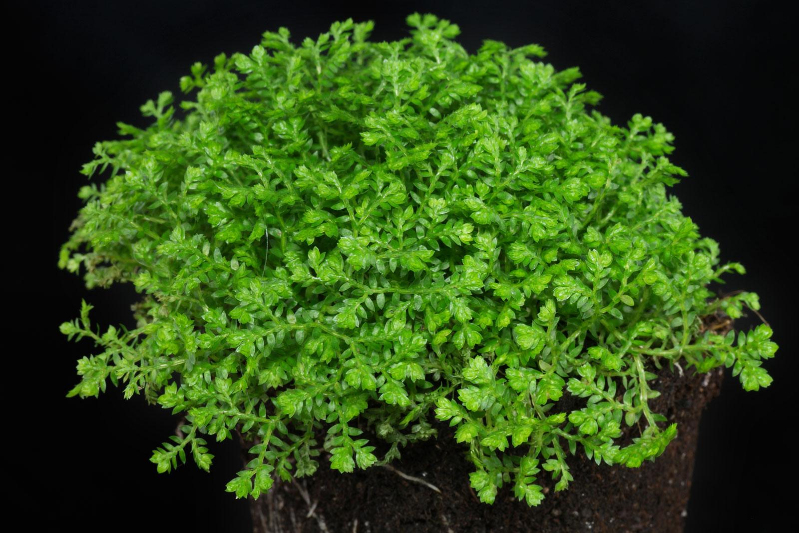 Selaginella apoda