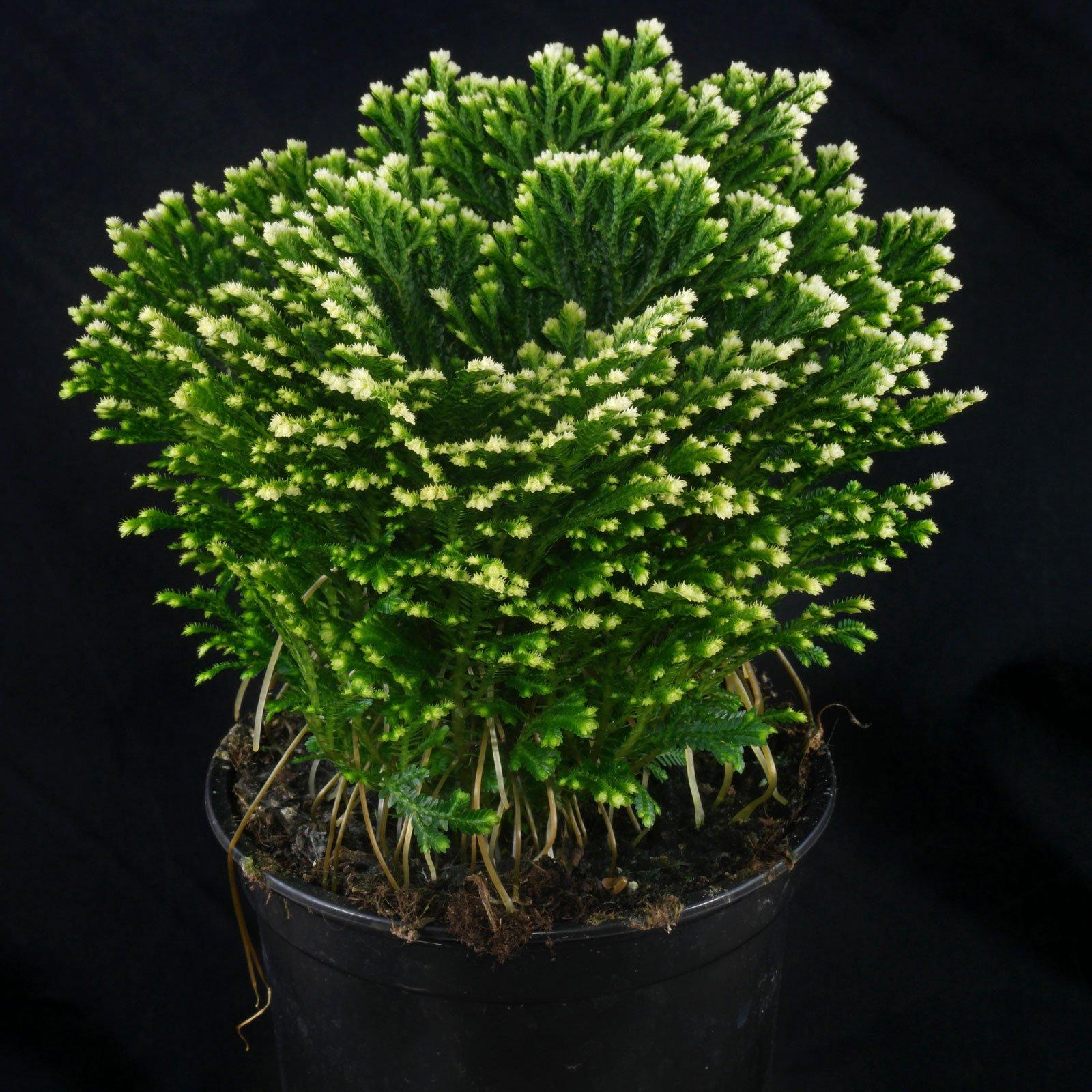 Selaginella martensii Frosty