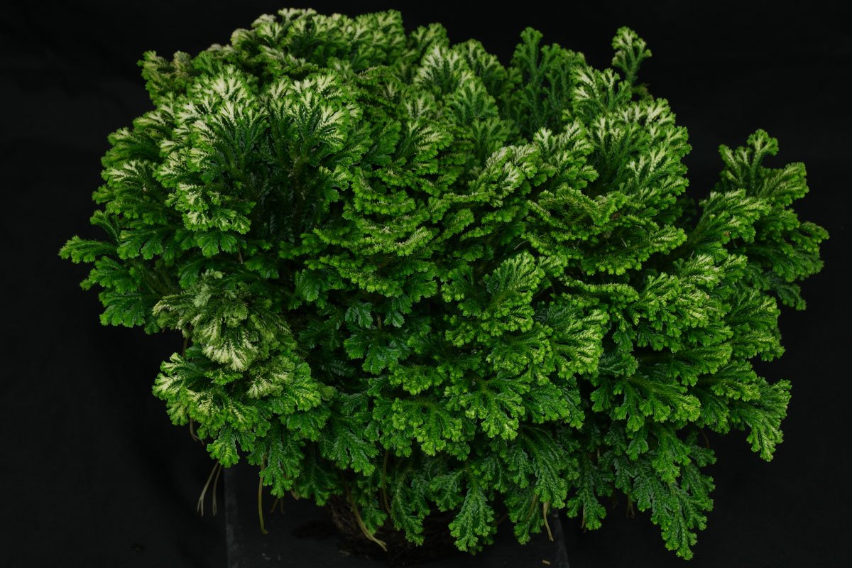 Selaginella martensii Variegata