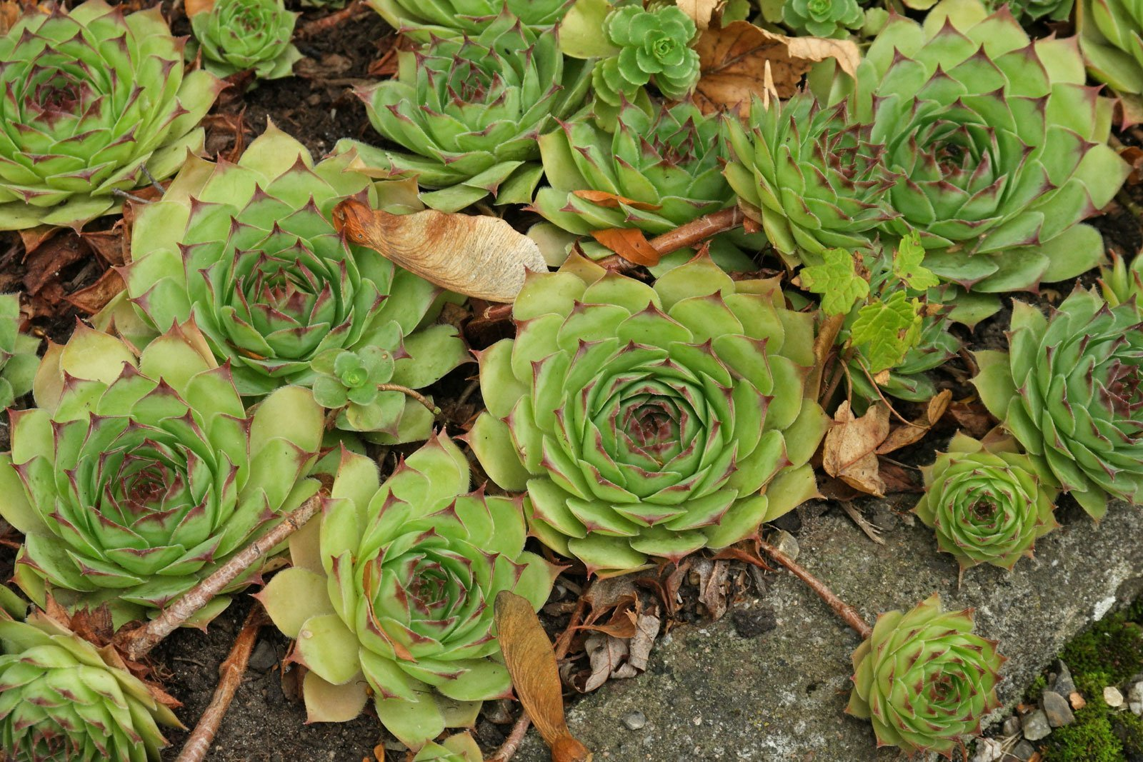 Sempervivum tectorum cv.