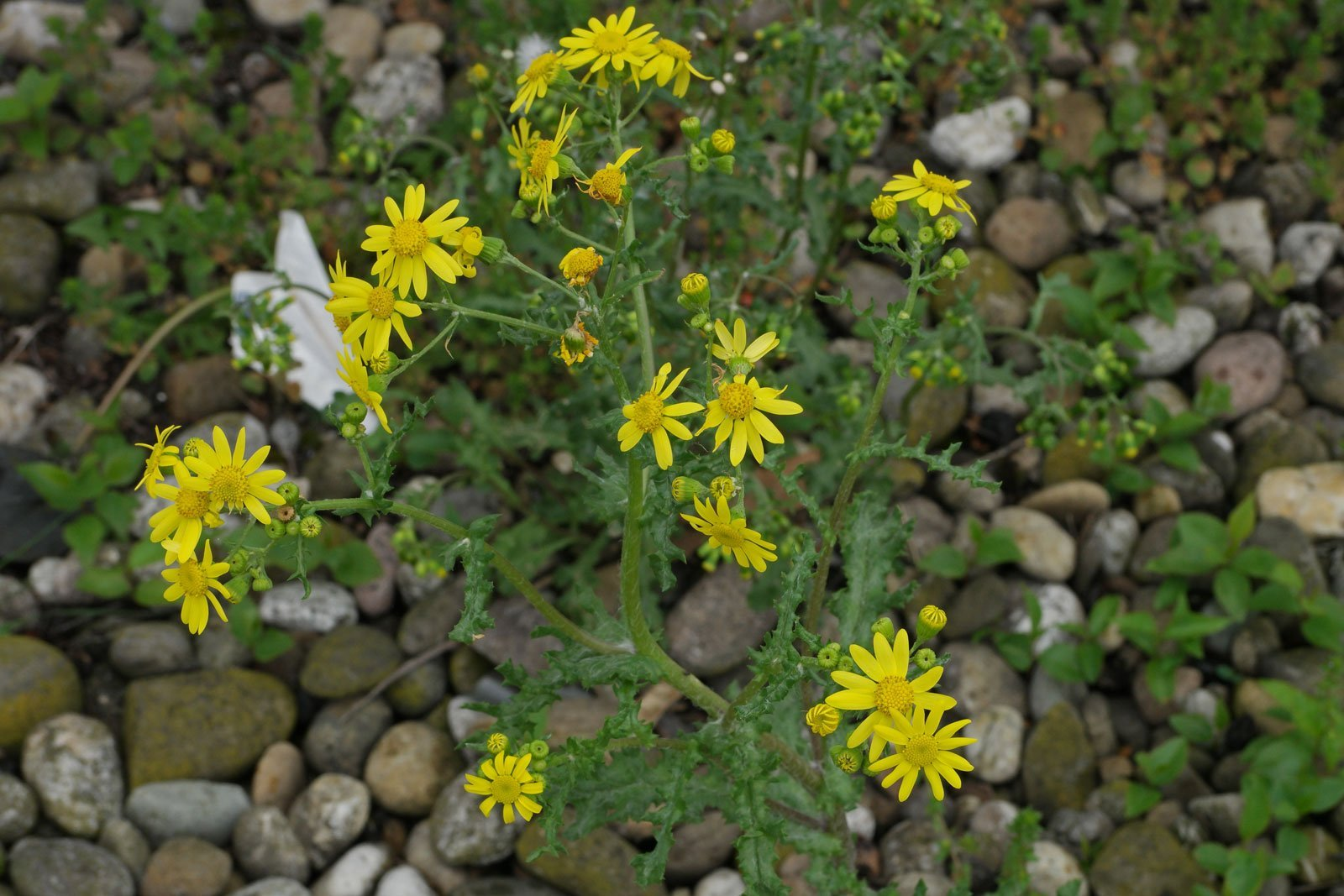 Senecio leucanthemifolius ssp. vernalis