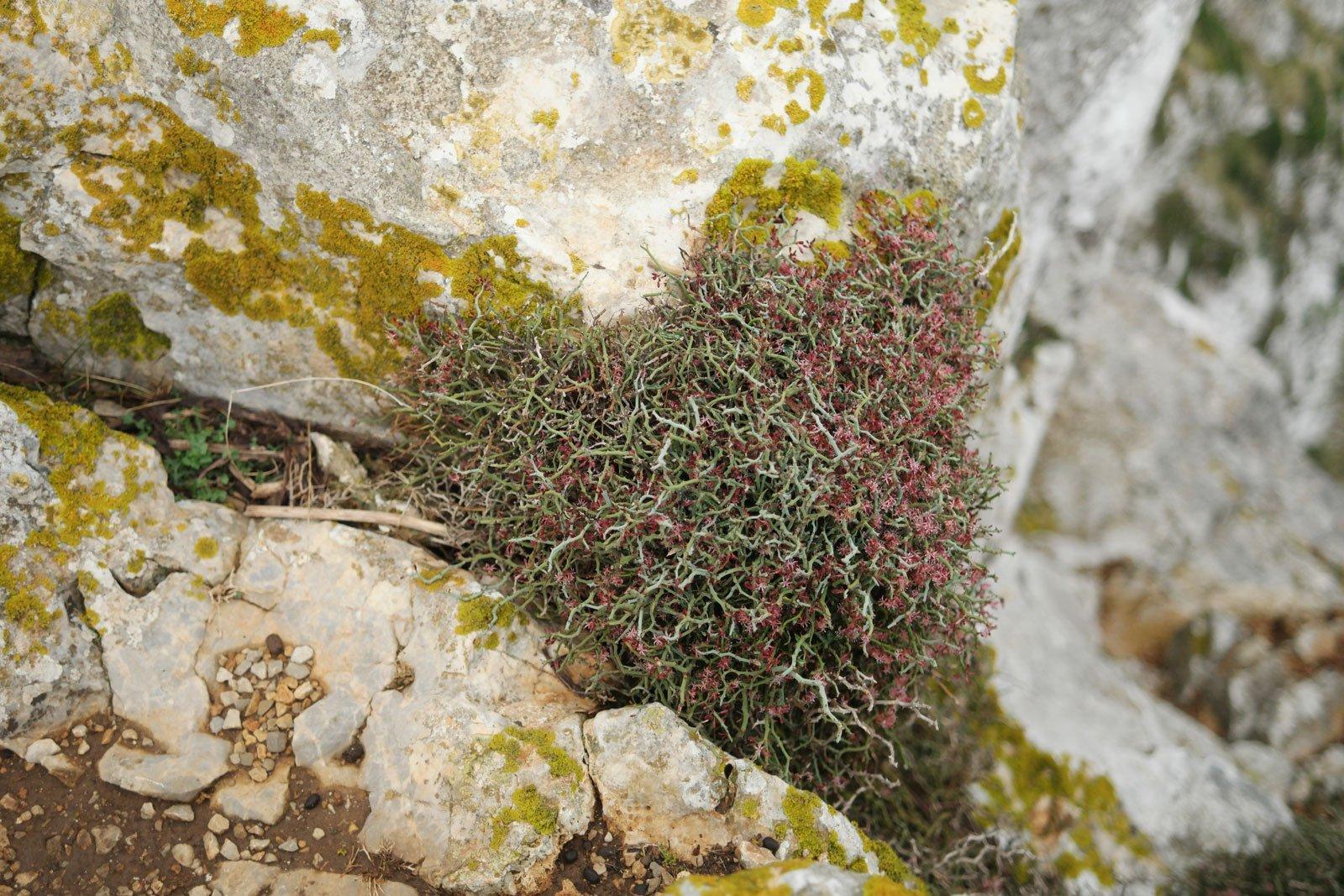Smilax aspera ssp. balearica
