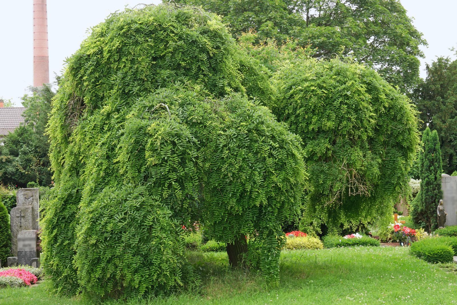 Styphnolobium japonicum Pendula