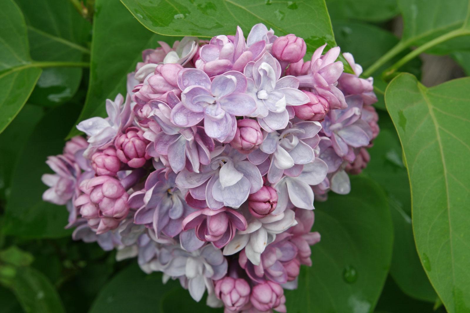 Syringa vulgaris cv