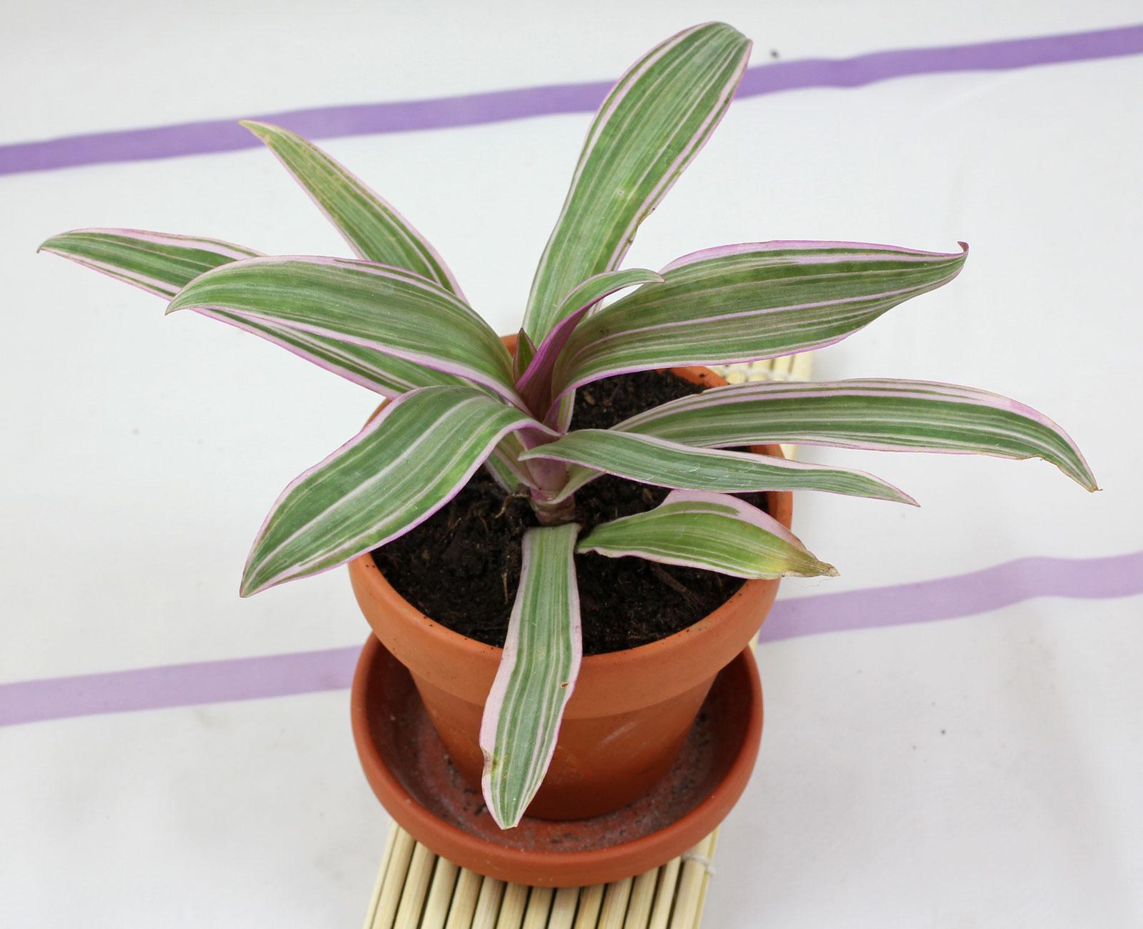 Tradescantia spathacea Tricolor
