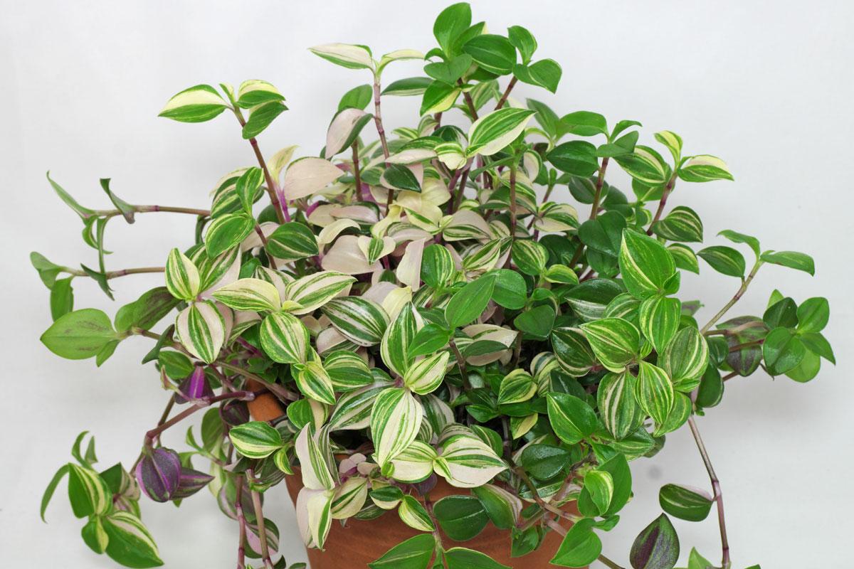 Tradescantia fluminensis-Tricolor
