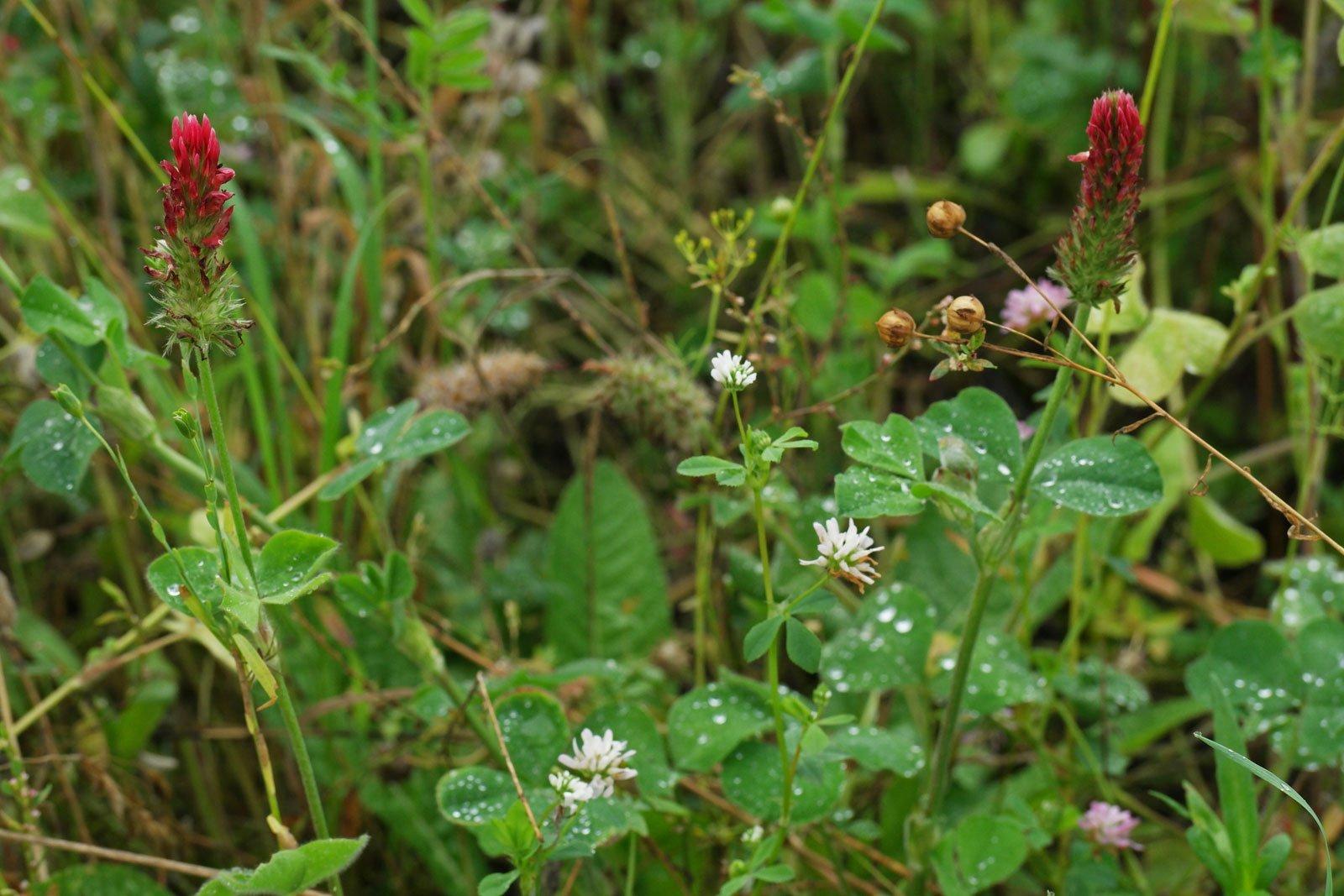 Trifolium incarnatum & Trifolium resupinatum
